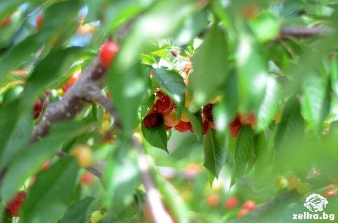 cherrylilly001