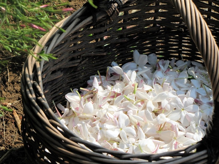 Жасминов цвят, обран за направата на парфюми